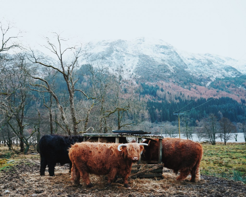 Thankfully we were able to spot some highland coos eating alongside the road