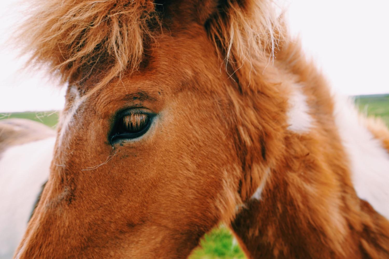 icelandic-horse-dante-vincent-photography-27