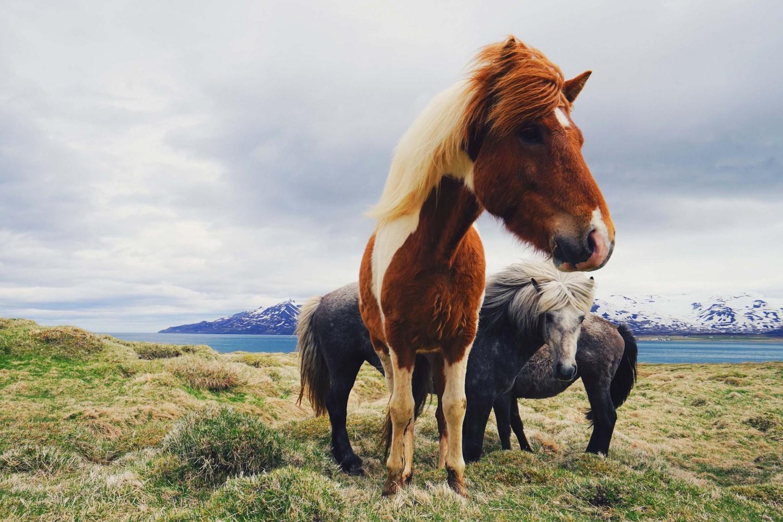 icelandic-horses-dante-vincent-photography-89