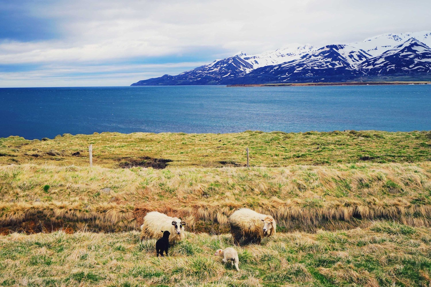 icelandic-sheep-dante-vincent-photography-86
