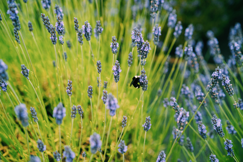 lavendar-farm-san-juan-island-dante-vincent-photography