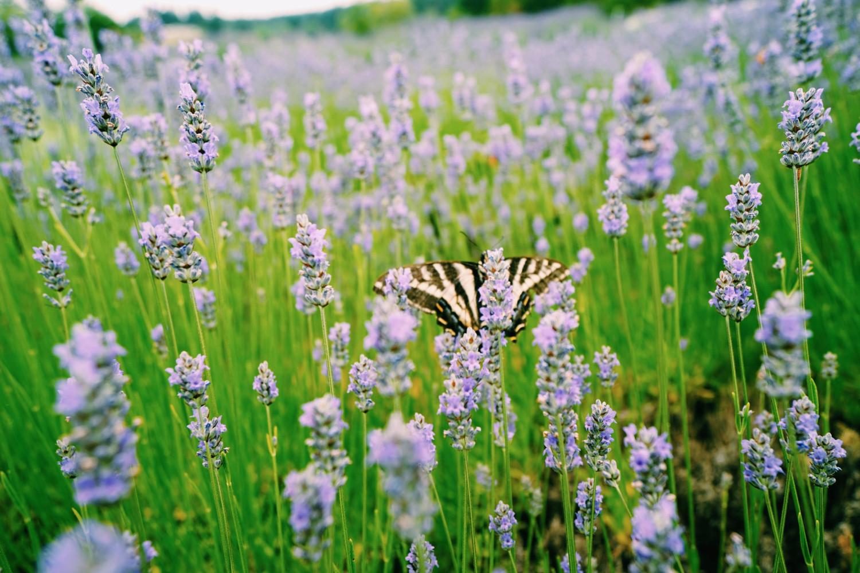 pelindaba-lavendar-farm-2-dante-vincent-photography